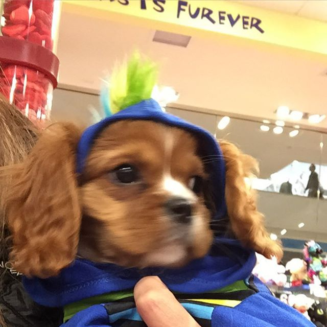 He just crashed a party at build a bear cavalierkingcharlesspaniel